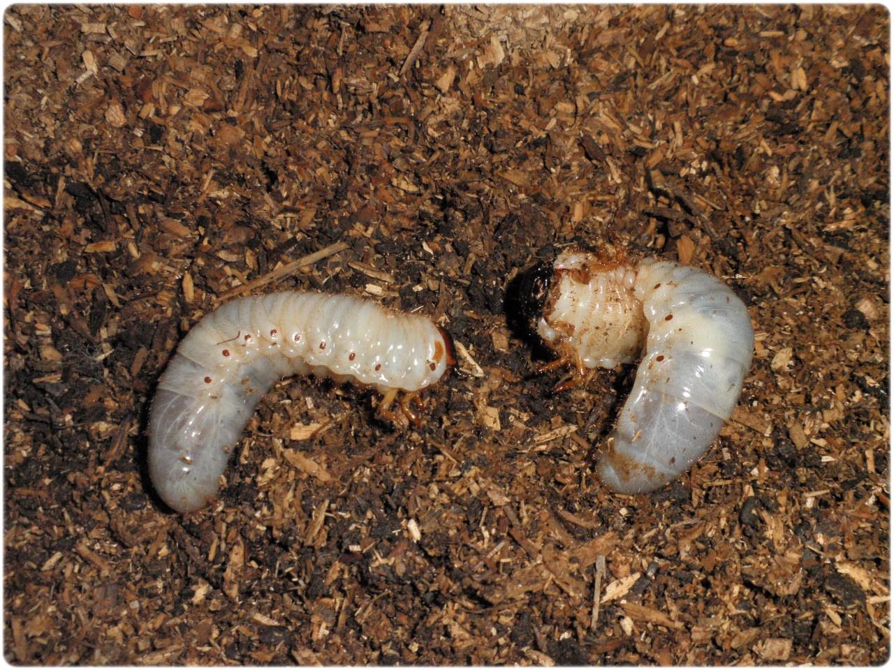 幼虫 なる カブトムシ から 蛹 まで に