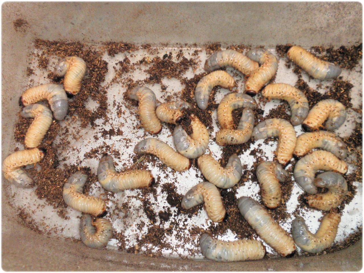 カブトムシ幼虫 出てくる